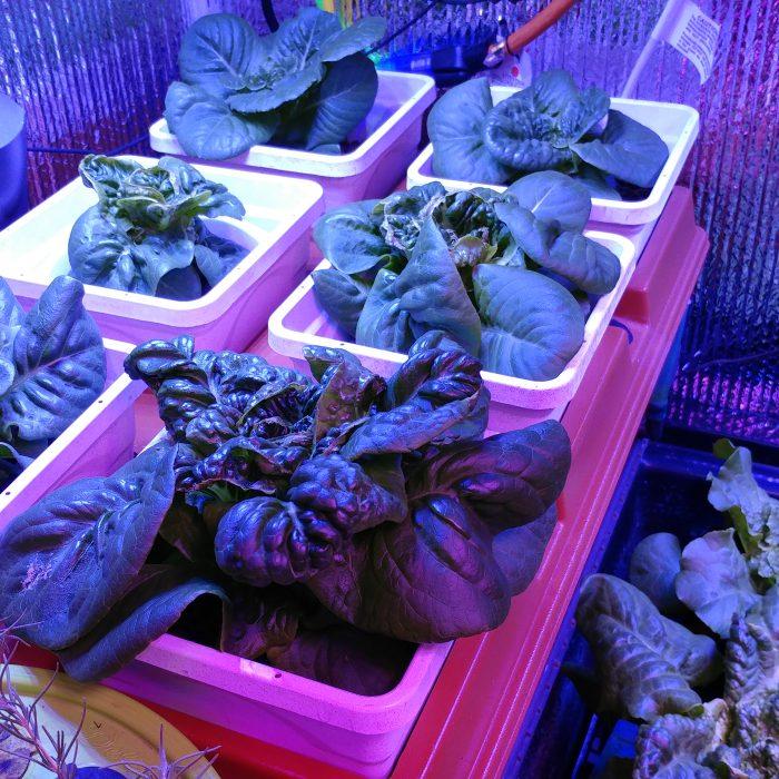 Lettuce in HydroFarm Emily's Garden